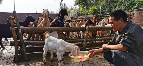 李妙伦饲喂仔羊。特约通讯员 赵武强 摄