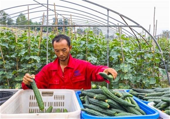 菜农在基地分拣黄瓜装车。通讯员 龚长浩   摄