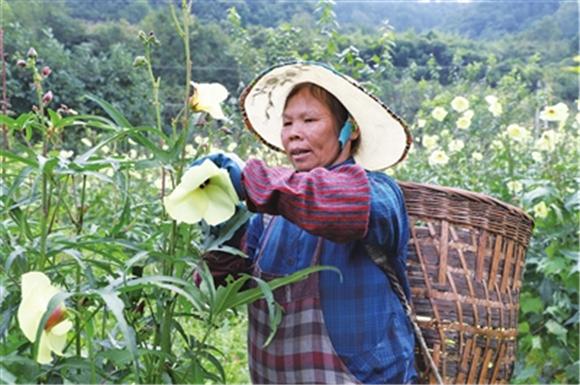 工人正在采摘黄蜀葵。通讯员 徐爱荣 供图