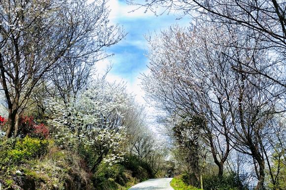 大盛云龟山美丽的樱花小道。华龙网-新重庆客户端 张雅萍 摄