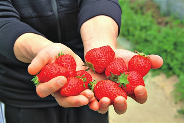 新鲜的草莓。通讯员 文胜 摄