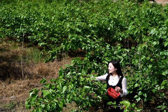 游客在肥西县铭传乡聚星社区桑葚鲜果采摘基地里采摘桑葚。