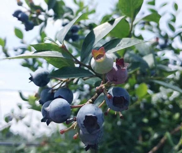 蓝莓正当采摘时。通讯员 王凯 摄