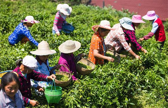 青龙乡青天村茶农正在采摘茶叶。双龙镇经发办供图 华龙网发