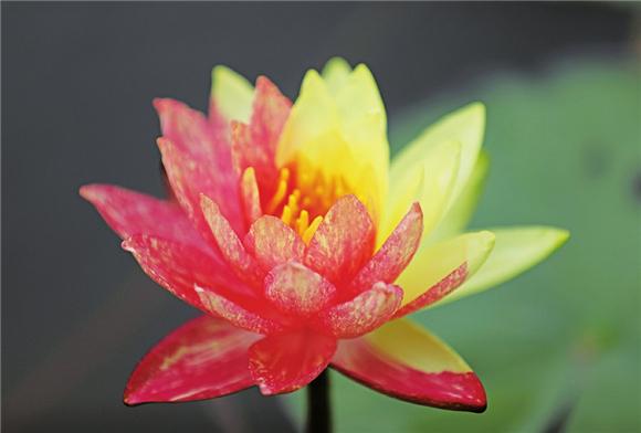 双色莲花。通讯员 陈龙 黄舒 供图
