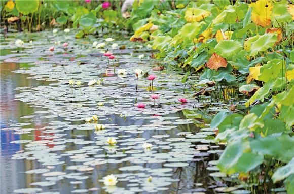 水生花卉。通讯员 陈龙 黄舒 供图