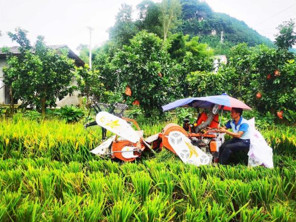 村民正在收割水稻。通讯员 陈志超 供图